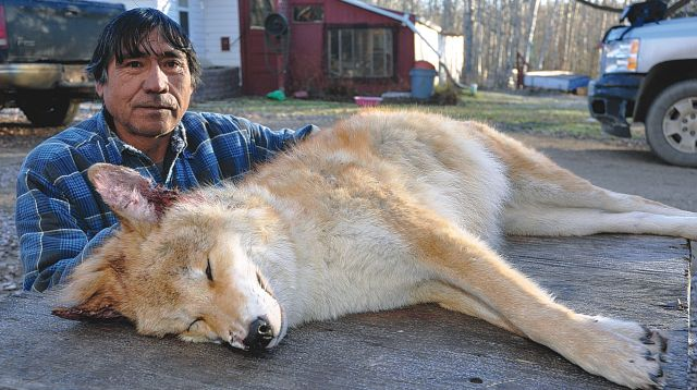Clarence Cardinal poses beside the red-haired coyote he trapped near his Salt Prairie home on Nov. 12.