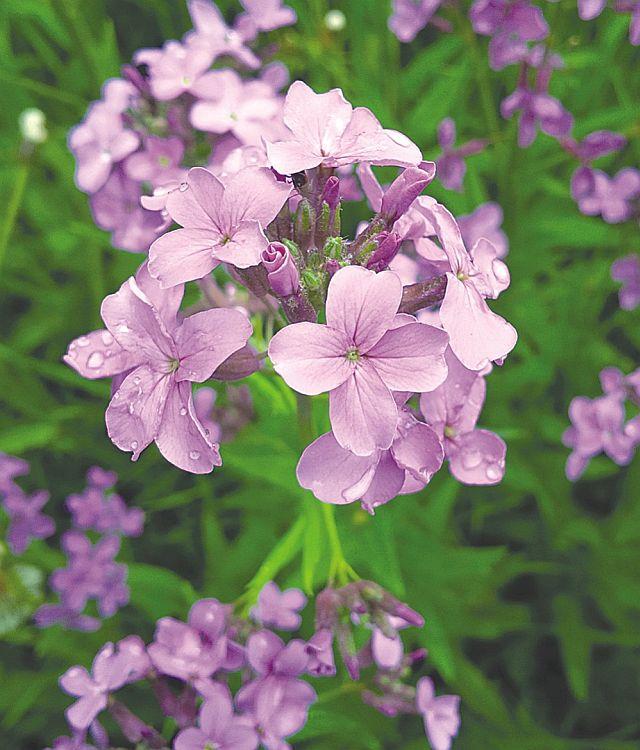 Dames Rocket Flower close up