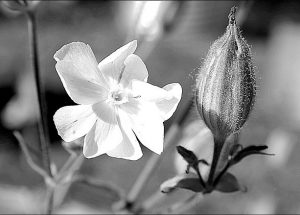 The Fieldman's Files – White cockle (Silene alba, S. latifolia, S. pratensis)