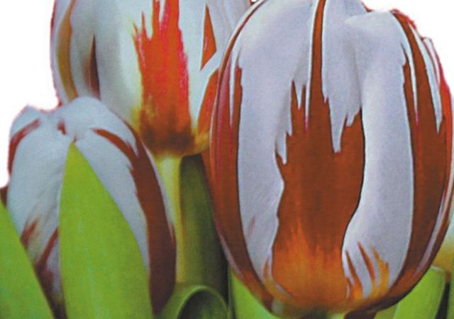 Ecole Providence students plant  Canada's 150 anniversary tulip blubs