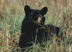 Plan your spring bear hunt for safety and to obey regulations