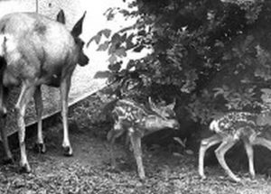 Mother deer gives birth to two babies at Peace River school while students watch