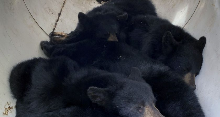Mother and 3 bears captured in Falher